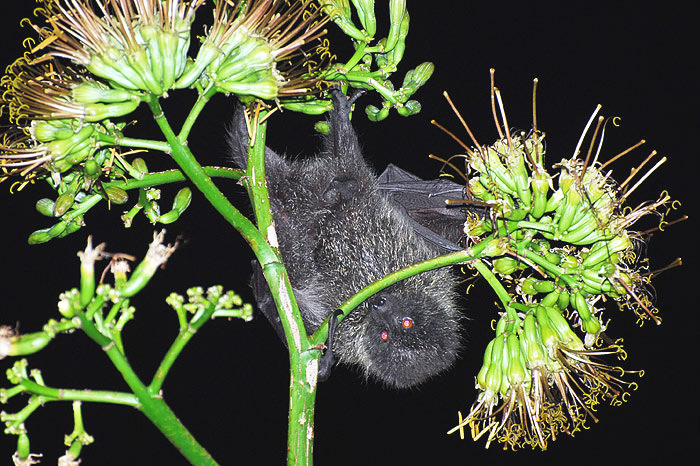 Bonin Fruit Bat