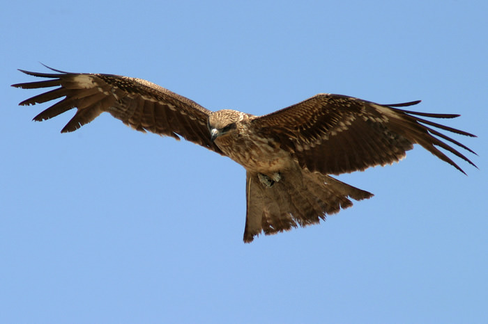Japanese Black Kite
