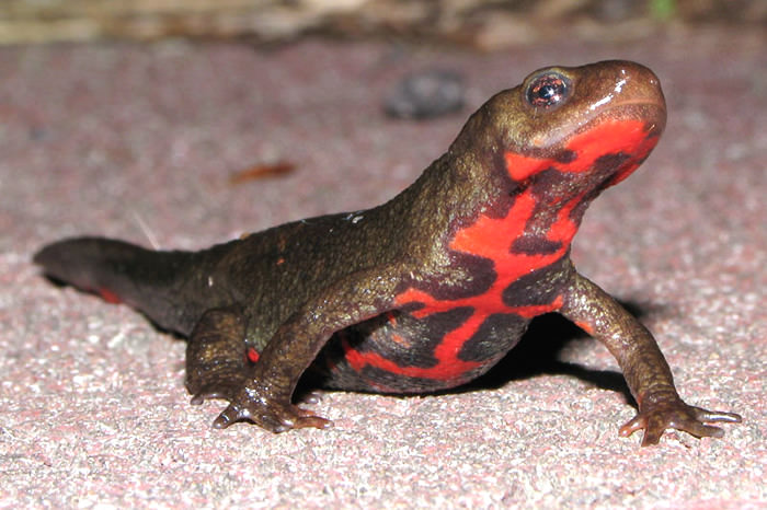 Japanese fire belly newt