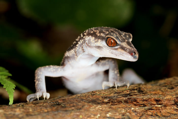 Japanese Ground Gecko