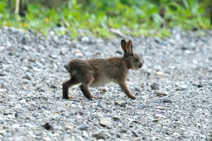 Japanese Hare