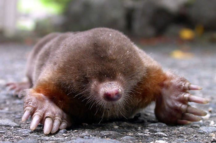 Japanese Mountain Mole