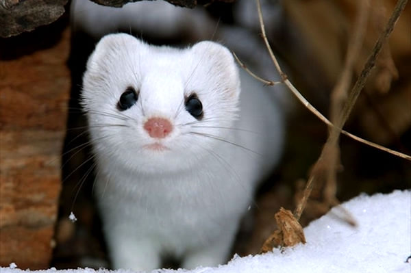 Japanese Stoat