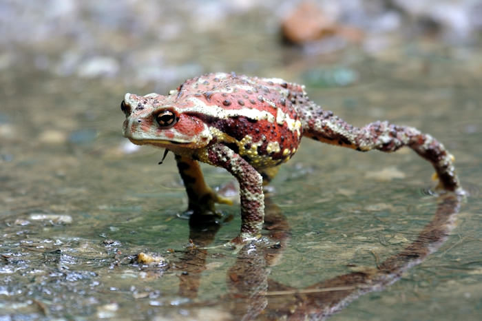 Japanese stream toad