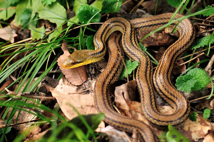 Japanese Striped Snake
