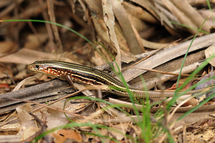 Kishinoue's Giant Skink