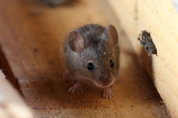 small Japanese field mouse