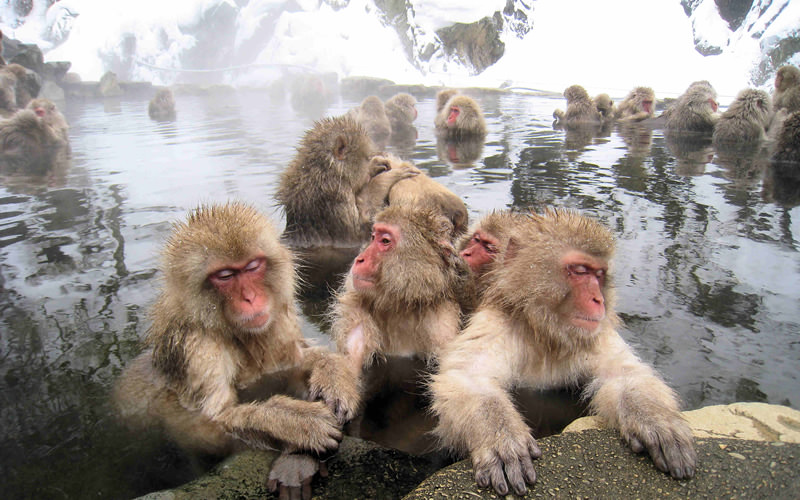Snow monkeys in a hot spring