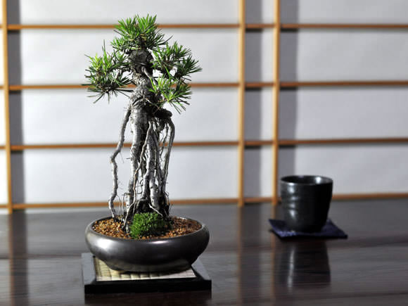 Neagari Style (Bonsai with exposed roots)