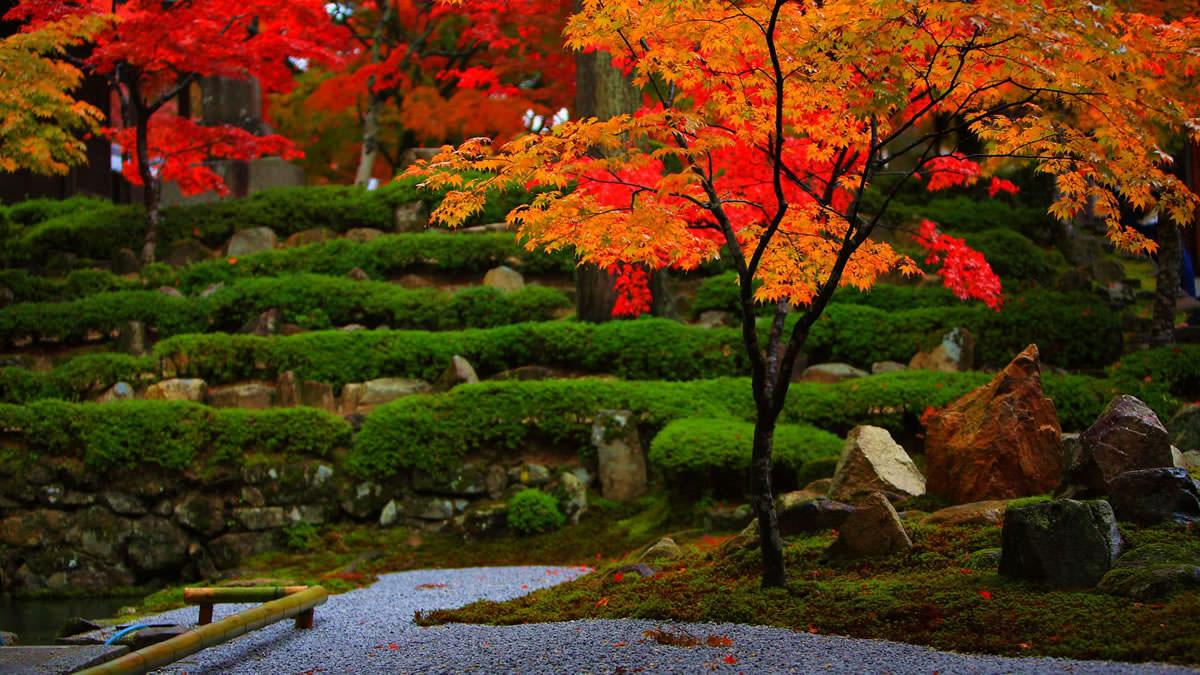 Japanese Maple Encyclopedia Of Japan