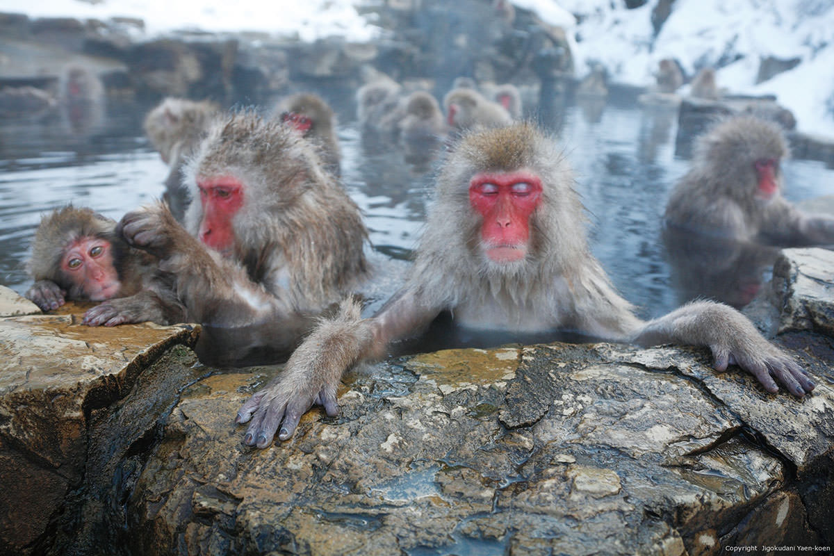 Snow Monkeys enjoying Jigoku-dani Onsen in Nagano Prefecture