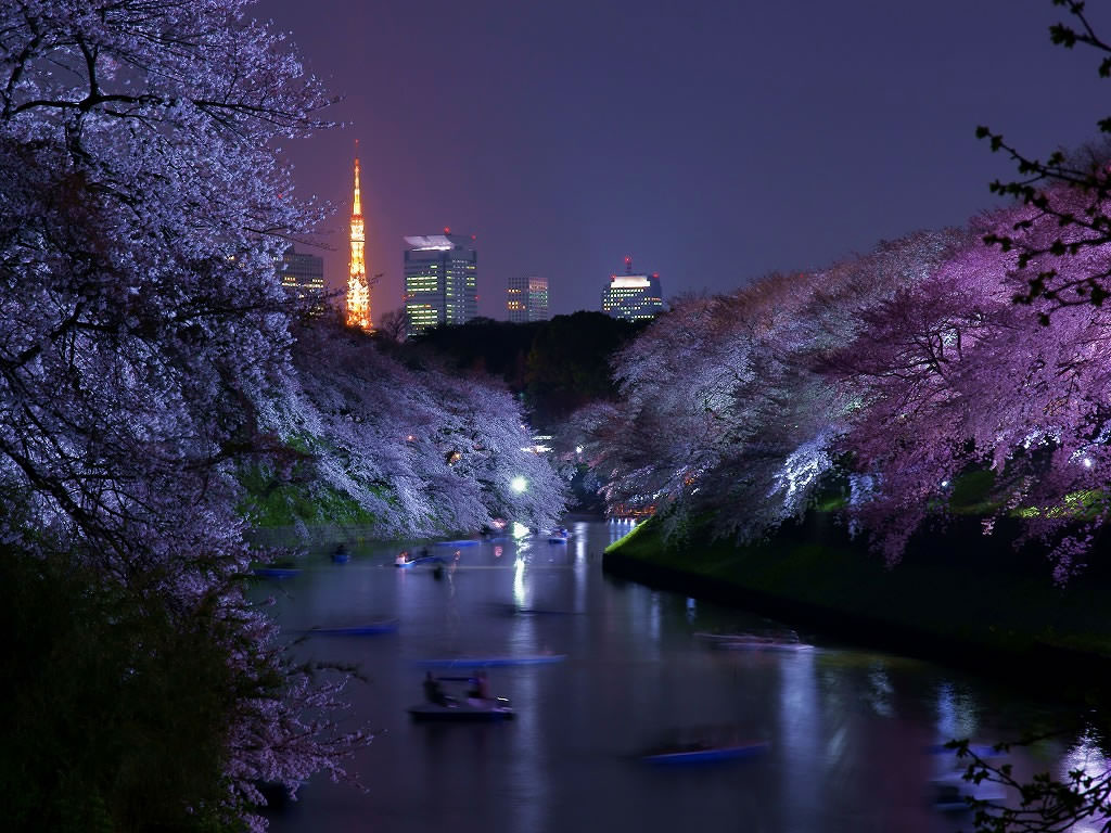 Night view of Sakura at Imperial Palace in Tokyo Metropolis