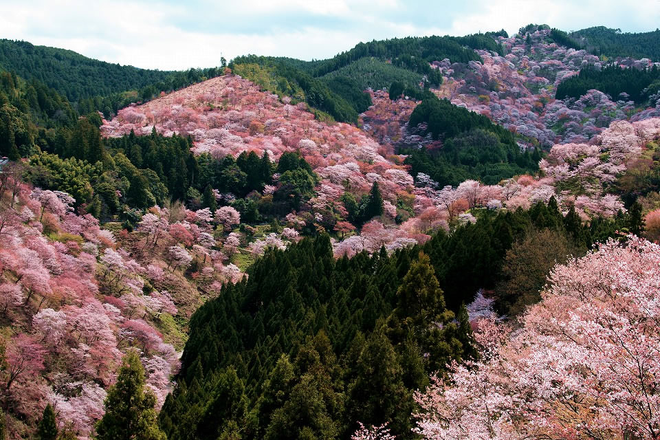 Sakura of Yoshino Mountain in Nara Prefecture